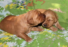 Two week old Golden Retriever puppies together Royalty Free Stock Images