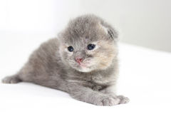 Two week old grey kitten. Sitting on white bed Stock Images