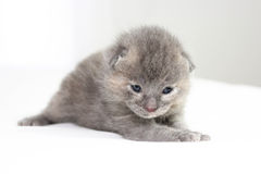 Two week old grey kitten Stock Image