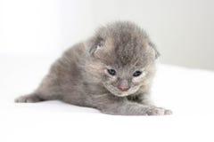 Two week old grey kitten. Sitting on white bed Stock Image