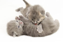 Two week old grey kittens. Playing on white bed Stock Images