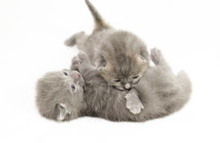 Two week old grey kittens. Playing on white bed Royalty Free Stock Images