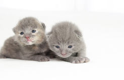 Two week old grey kittens. Sitting on white bed Royalty Free Stock Photography