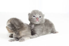Two week old grey kittens. Sitting on white bed Stock Photos