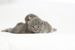 Two week old grey kittens. Sitting on white bed with mother cat watching Royalty Free Stock Photos