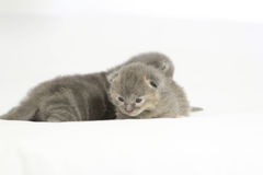 Two week old grey kittens. Sitting on white bed with mother cat watching Stock Image