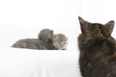 Two week old grey kittens. Sitting on white bed with mother cat watching Royalty Free Stock Image