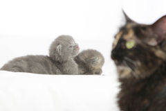 Two week old grey kittens. Sitting on white bed with mother cat watching Stock Photo