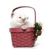 Two week old kitten in a basket Stock Image