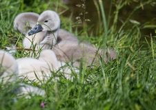 Two week old mute swan babies near a pond in the district of Buechenbach of the city of Erlangen Stock Image