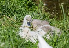 Two week old mute swan babies near a pond in the district of Buechenbach of the city of Erlangen Royalty Free Stock Image