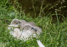 Two week old mute swan babies near a pond in the district of Buechenbach of the city of Erlangen Stock Images