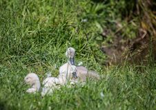 Two week old mute swan babies near a pond in the district of Buechenbach of the city of Erlangen Stock Photos