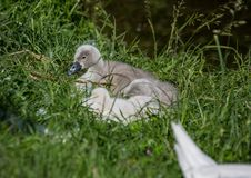 Two week old mute swan babies near a pond in the district of Buechenbach of the city of Erlangen Stock Photo