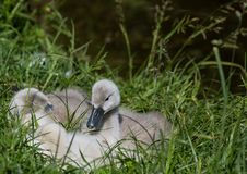 Two week old mute swan babies near a pond in the district of Buechenbach of the city of Erlangen Royalty Free Stock Photos