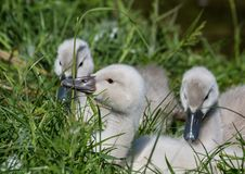 Two week old mute swan babies near a pond in the district of Buechenbach of the city of Erlangen Royalty Free Stock Photography