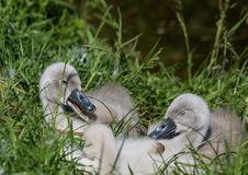 Two week old mute swan babies near a pond in the district of Buechenbach of the city of Erlangen Royalty Free Stock Photo