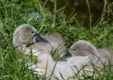 Two week old mute swan babies near a pond in the district of Buechenbach of the city of Erlangen Stock Photography