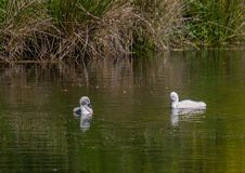 Two week old mute swan babies swimming on a pond in the district of Buechenbach of the city of Erlangen Stock Photos
