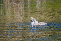 Two week old mute swan babies swimming on a pond in the district of Buechenbach of the city of Erlangen Stock Photography
