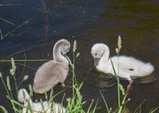 Two week old mute swan babies swimming on a pond in the district of Buechenbach of the city of Erlangen Royalty Free Stock Images