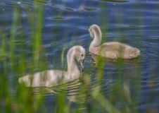 Two week old mute swan babies swimming on a pond in the district of Buechenbach of the city of Erlangen Stock Image
