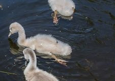 Two week old mute swan babies swimming on a pond in the district of Buechenbach of the city of Erlangen Royalty Free Stock Image