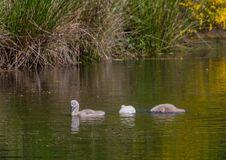 Two week old mute swan babies swimming on a pond in the district of Buechenbach of the city of Erlangen Stock Images