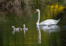 Two week old mute swan babies swimming together with their parents on a pond Stock Images