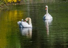 Two week old mute swan babies swimming together with their parents on a pond Royalty Free Stock Photos