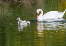 Two week old mute swan babies swimming together with their parents on a pond Royalty Free Stock Photo