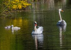 Two week old mute swan babies swimming together with their parents on a pond Stock Photos