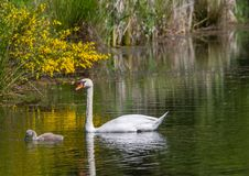 Two week old mute swan babies swimming together with their parents on a pond Royalty Free Stock Photography