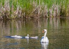 Two week old mute swan babies swimming together with their parents on a pond Royalty Free Stock Images