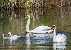 Two week old mute swan babies swimming together with their parents on a pond Stock Photo