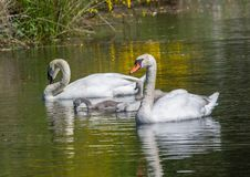 Two week old mute swan babies swimming together with their parents on a pond. In the district of Buechenbach of the city of Erlangen, Bavaria - Germany stock image