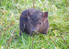 Two-week  pigling  Vietnamese is in a grass Royalty Free Stock Photo