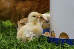 Two weeks old chicks eating from a feeder royalty free stock image