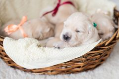 Two weeks old golden retriever puppy. Golden retriever baby boy with green ribbon is sitting in the wicker basket. Portrait of two weeks old golden retriever stock photography