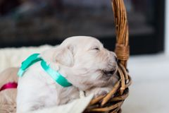Two weeks old golden retriever puppy in the basket. Golden baby boy with green ribbon is saying Hello world. Close-up Portrait of two weeks old golden retriever stock photo