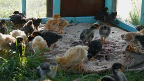 Two weeks old newborn funny chickens of yellow and black color with tuft are walking on green grass stock video footage