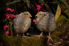 Two weeks old quail, Coturnix japonica...sitting in a Spindle tree, Euonymus planipes. Two weeks old quail, Coturnix japonica.....sitting in a spindle tree stock photo