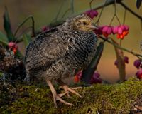 Two weeks old quail, Coturnix japonica...sitting in a Spindle tree, Euonymus planipes. Two weeks old quail, Coturnix japonica.....sitting in a spindle tree royalty free stock image