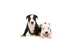 Two 5 weeks old stafford terrier puppies stock image