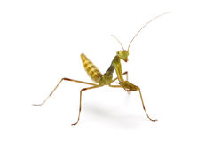 Two weeks old wood mantis Stock Images