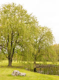 Two weeping willow trees. Pond side, Springtime upstate rural New York, Salix babylonica stock photos