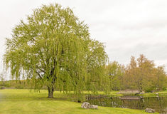Two weeping willow trees. Pond side, Springtime upstate rural New York, Salix babylonica royalty free stock image