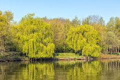 Two Weeping Willows. Two lovely Weeping Willows in a country park with attractive reflections in the lake Royalty Free Stock Images