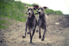 Two Weimaraner dog. Run together in road Stock Photo