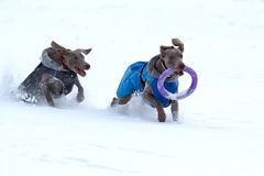 Two weimaraner dog runs and plays. On the snow field Stock Photos